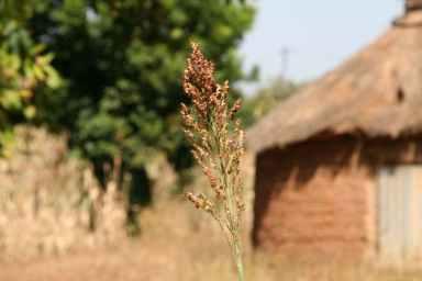 Céréale (sorgho) en brousse