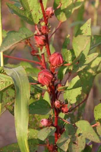 Fleur d'hibiscus qui une fois séchée et infusée devient une boisson très appréciée localement : le bissap !